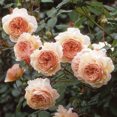 A Shropshire Lad roses, David Austin roses