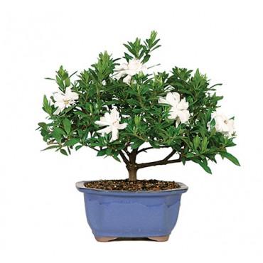 Gardenia Bonsai Tree from The Soothing Company, Retail $40